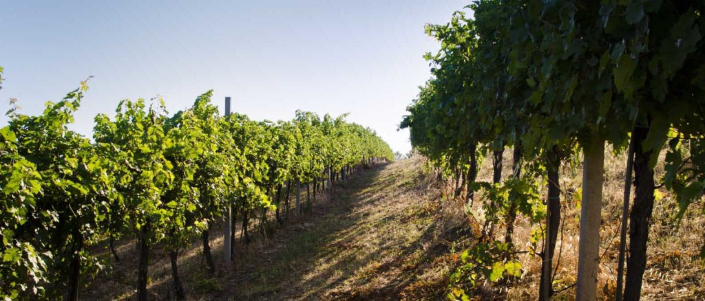 Vini Marche - Az. Agricola Morelli